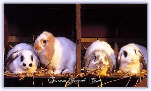 Tavşan (Lepus Europaeus)
